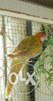 Jumbo Size Rosella Parrots Male In Excellent Helth For Sale