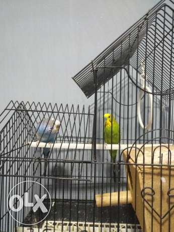 Two love birds with cage