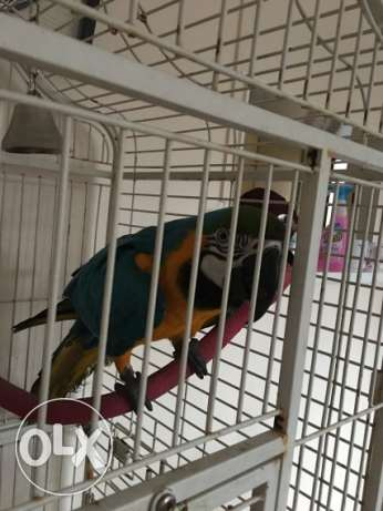 Beautiful cuddly hand reared Macaw 2 left