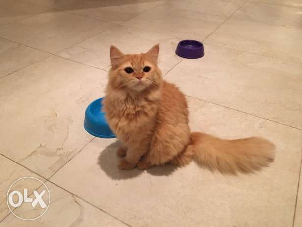 Persian Turkish mix bread male for sale 6 month old very hairy