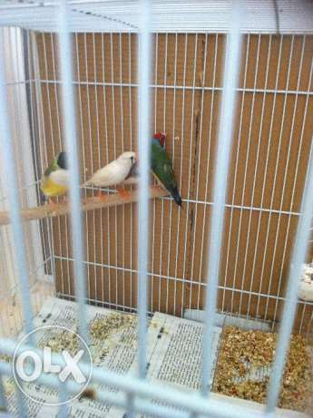 1pair gouldian and 1 pair zebra finch with 5 chicks and 1 big cages. مسقط -  2