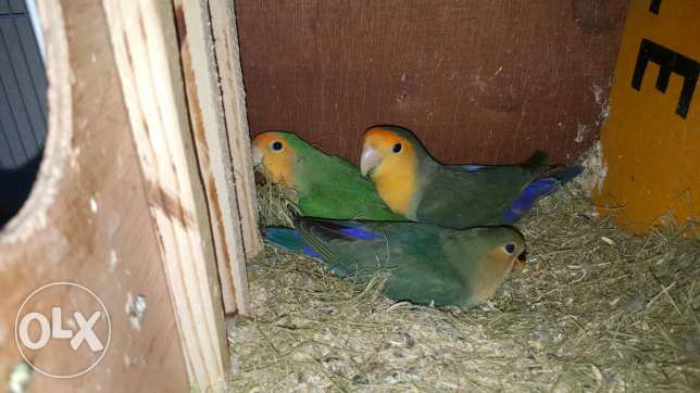 Jumbo Size, Very Productive, Orange Face Lovebird Pair With one Chick مسقط -  1