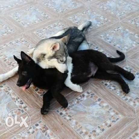 Siberian husky and black shepherd