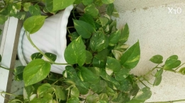 Healthy and fresh money plant