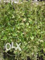 4 money plant and full size curtain at Wadi Kabir for sale