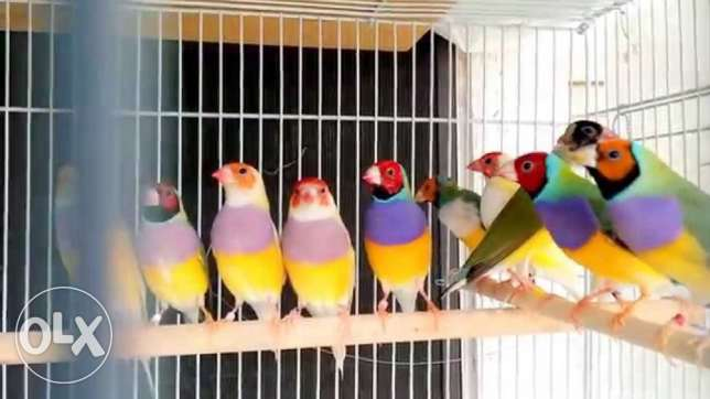 Gouldian finches and zebra finch مسقط -  1