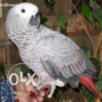 African parrot for sale