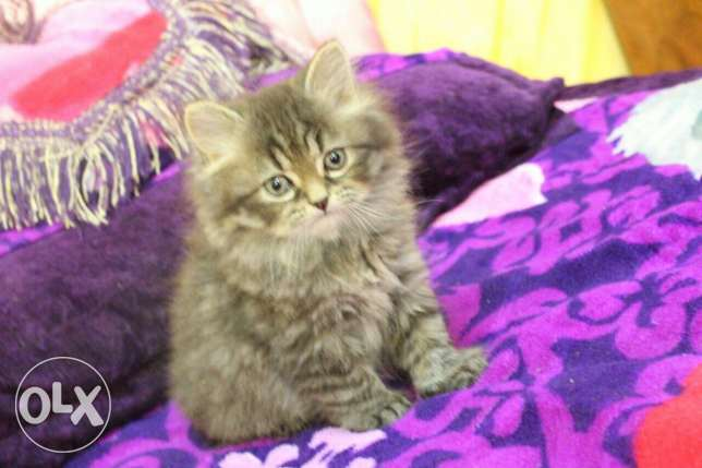 Pure Kittens 2 month for Sale السيب -  6