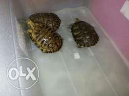 Two years old turtles for sale