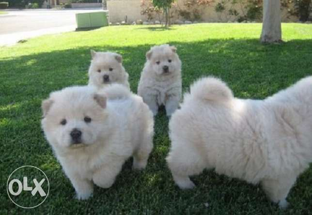 Beautiful cream Chow Puppies 2 left