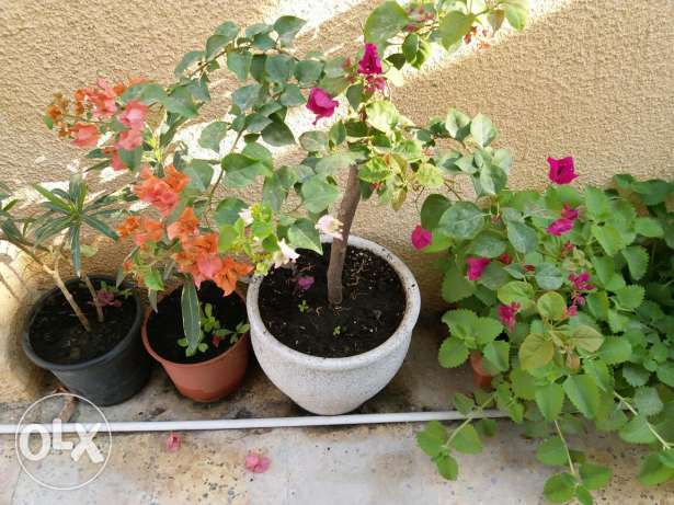Bouganvillia plant with three different colours flowers 15 rials