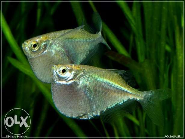 Different types of Hatchetfish fish for sale