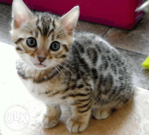 Cute Bengal Kitten available