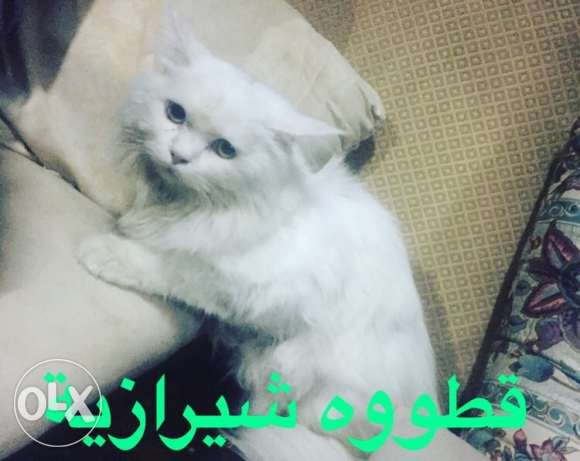 cat for sell قط شيرازي
