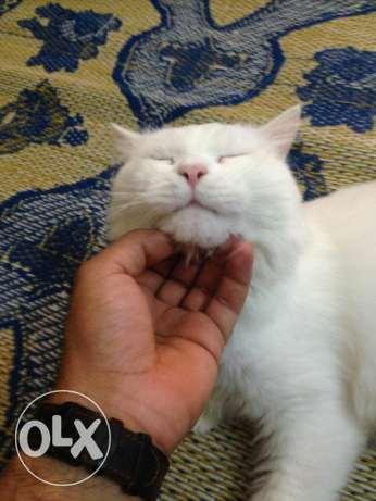 Turkish Angora Male cat. مسقط -  1