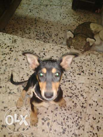Doberman Shepherd مسقط -  5
