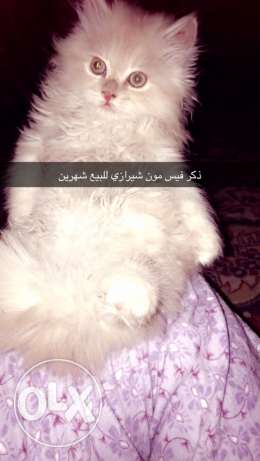 kittens for sale قطط للبيع