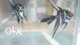 Nice Angel fish pair for breeding